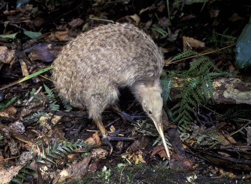 The kiwi is the national bird of New Zealand