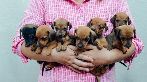 Lady holding a litter of puppies