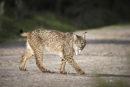 Lynx walking in the middle of the road