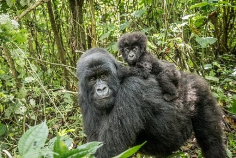 Mother and baby gorilla walking through the jungle