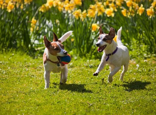 Two Jack Russel Terriers running in a garden with a ball