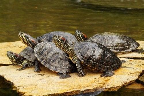 5 aquatic turtles resting on a flat rock.