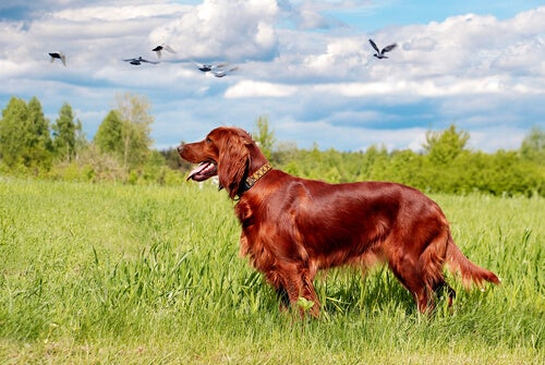 Red Irish Setter in a field