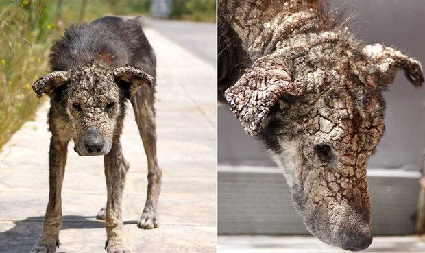 Dog with a sever case of scabies
