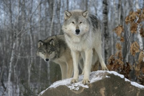 Two wolves standing on a rock during a snowy day