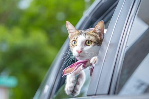 Cat riding in a car with his head out the window