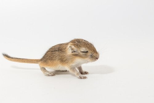 Cute baby gerbil with its eyes closed