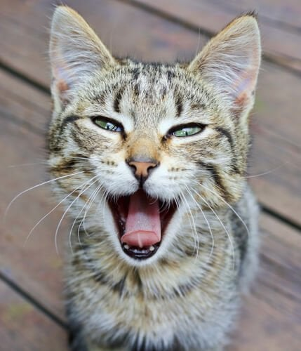 A suffering voice loss in cats