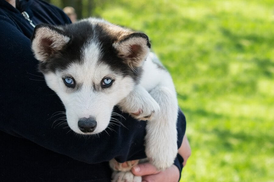 A husky puppy being held