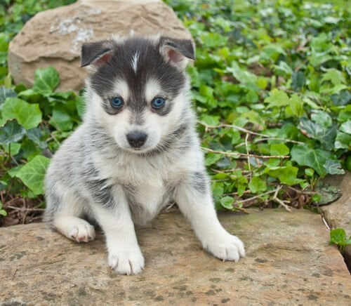 A pomsky puppy, one of the new breeds of dog