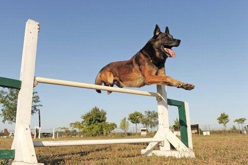Belgian Shepherd jumping a hurdle