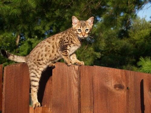 Savannah cat on a fence