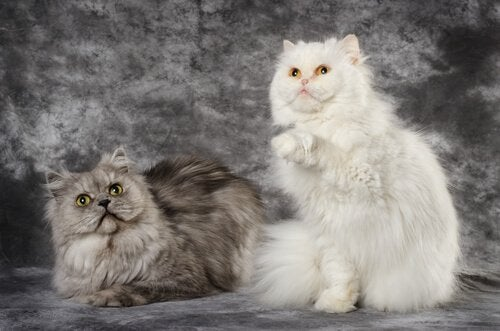 A Turkish Angora's fur comes in different colors