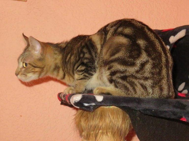 The Sokoke: an African Cat