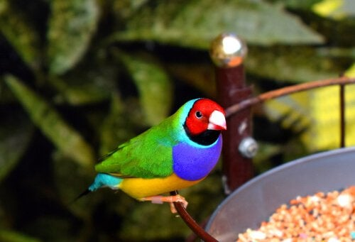 Colorful Gouldian Finch