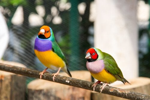 Care and Maintenance for the Gouldian Finch