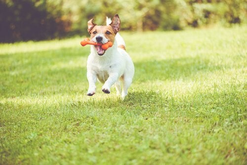 Dog running with a chew toy