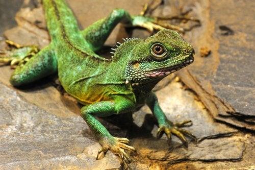 An iguana that looks like a dragon