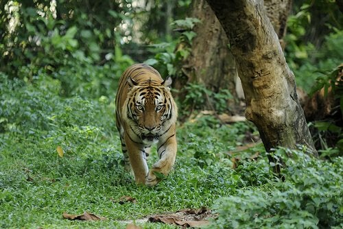 Malayan Tiger walking in the forest
