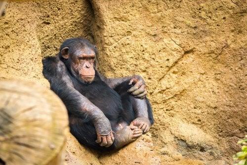 Old Fongoli Chimpanzee