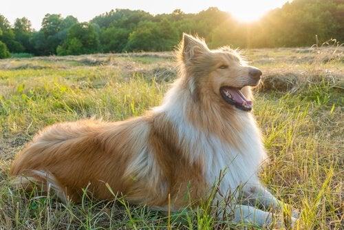 Lassie lying down in a field