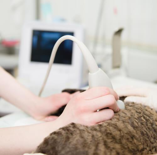 Cat getting an ultrasound