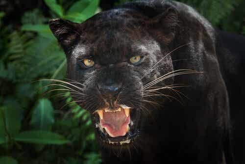 Black Panthers: interesting facts about this animal