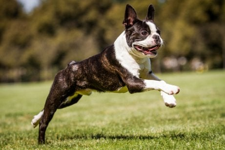 Boston terriers are small.