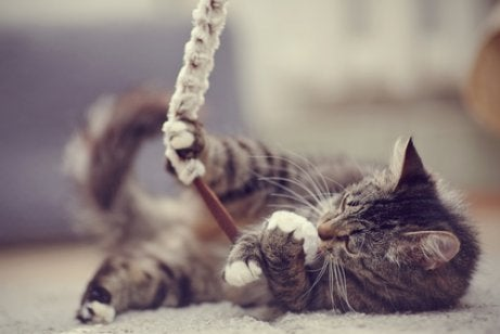 Cat playing with shoe lace.