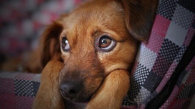 dog flu makes dogs sad like this one