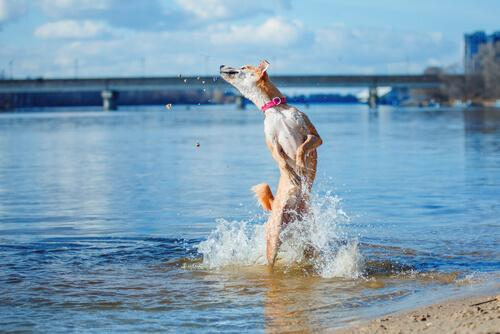 A dog bathing in the river.
