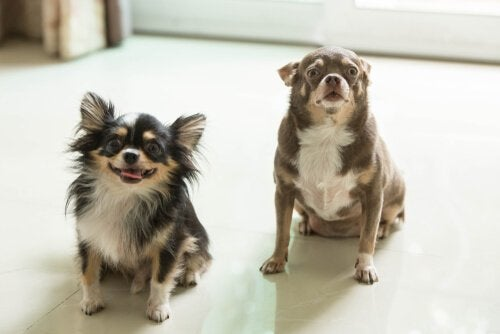 two little dogs at home
