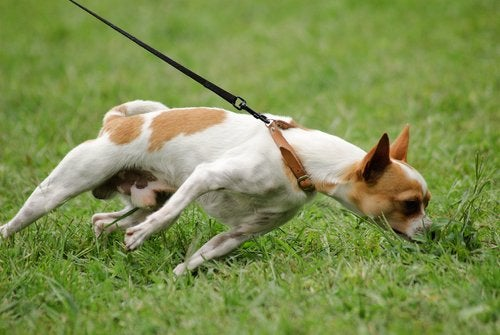 Dog tugging on the leash