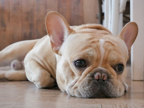 Cheer up your dog so they don't look like this sad French Bulldog