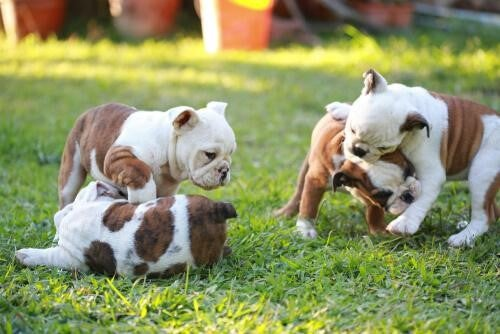 Puppies playing and biting each other.