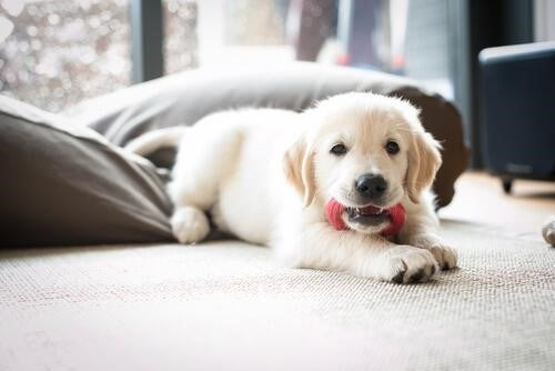 A puppy biting a chew toy.