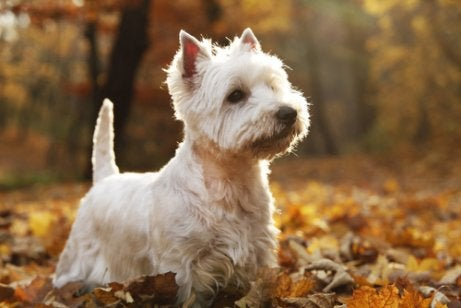 Breeds of terriers include the West Highland White Terrier.