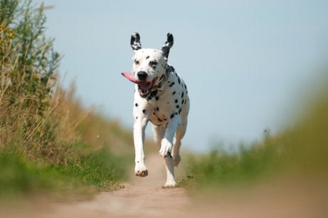 Dalmatian running in the country