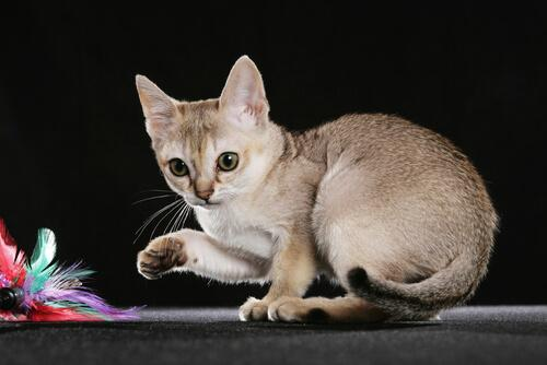 5 of the Smallest Cat Breeds