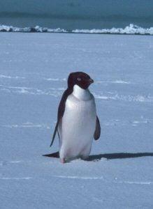 Little penguin walking on the snow