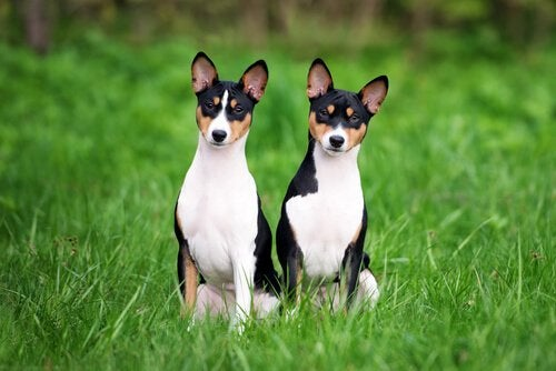 The basenji, the dog that does not bark