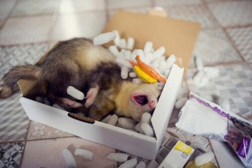 Ferrets love sleeping in boxes