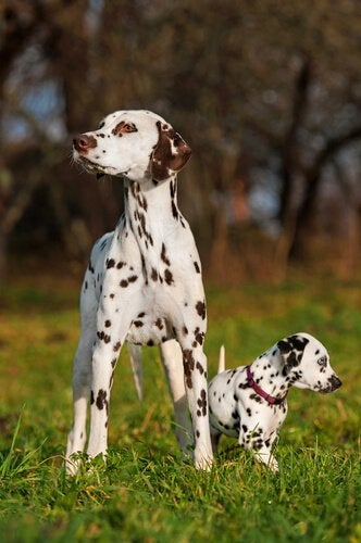 Dalmatians standing the grass, one is full-grown and the other is a puppy