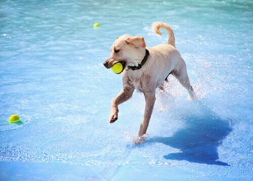 dog jumping into pool to get a ball
