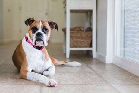 Brown and white boxer lying on the floor