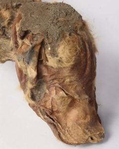 mummified wolf cub head