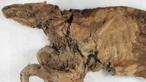 mummified wolf cub in ice