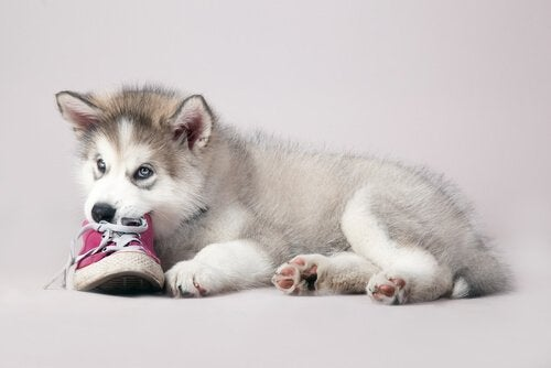 Your dog chews on things like this puppy chewing on a shoe