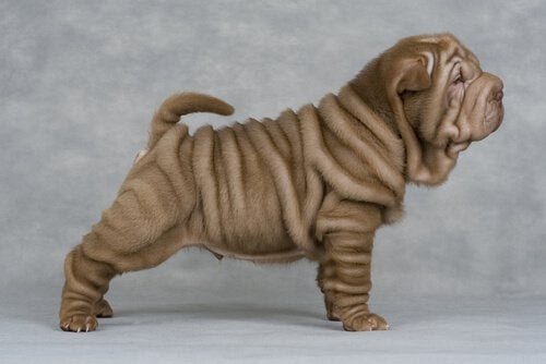Why Shar Pei Dogs Have So Many Wrinkles