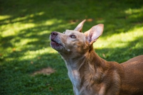 The Spanish Podenco requires a lot of exercise.